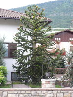 interessanter Baum nahe Revo